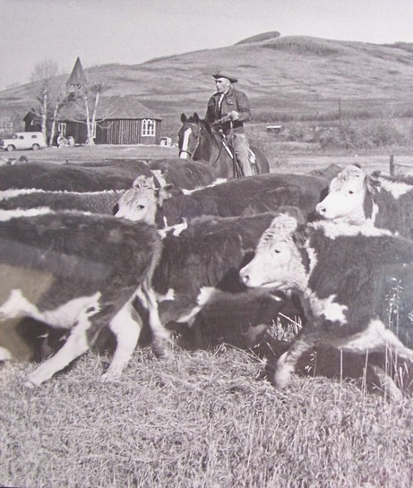 21 Winston moving cattle home from summer range Christ Church Millarville in background feature